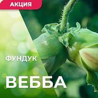 Саженцы фундука Вебба ценный 3-х летний отводок