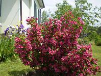 Вейгела розова