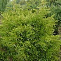 Можжевельник китайский Куривао Голд / Kuriwao Gold(контейнер 7,5 л, высота растения 50--60см)