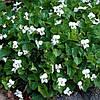 Фиалка белая сестринская Albiflora (контейнер 1 л)