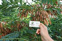 Акация белая семена (10шт) робиния лжеакация для выращивания саженцев (насіння для саджанців) + инструкция