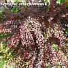 Барбарис Тунберга Атропурпуреа Нана / Atropurpurea Nana(контейнер 1л, размер растения 8--10см)  - опт