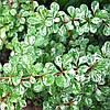 Барбарис Тунберга Корник / Kornik(контейнер 1л, размер растения 12--15см)  - опт