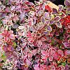 Барбарис Тунберга Коронита / Coronita (контейнер 1 л, высота растения 12--15см)  - опт
