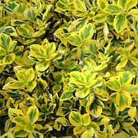 Бересклет форчуна Эмеральд Голд / Emerald Gold(контейнер 1л, размер растения 10--15см)  - опт
