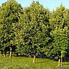 Липа европейская (контейнер 15 л, высота растения 120-150см) - опт