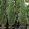 Можжевельник скальный Блю Эрроу / Blue Arrow(контейнер 3л, размер растения 40-45см) - опт