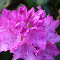 Рододендрон Розеум Элеганс / Roseum Elegans(контейнер 10л, размер растения 35-40см)  - опт