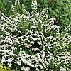 Спирея ниппонская Сноумунд / Snowmound(контейнер 3л, размер растения 20--30см)  - опт