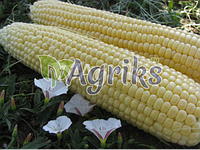 Семена кукурузы сахарной Тести Голд F1 Аgri Saaten от 1 000 шт