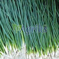 Семена лука на перо Вулкан Kitano Seeds 100 г