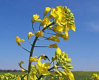 Технология выращивания озимого рапса