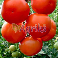 Семена томата индетерминантного Лилос F1 Rijk Zwaan от 100 шт