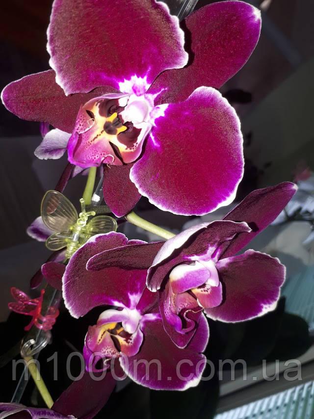Орхидея Фаленопсис Саида Saida, НЕ цветет