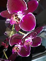 Орхидея Фаленопсис Саида Saida, НЕ цветет, фото 1