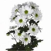 Хризантема кустовая «Бакарди»