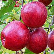 Обновлён ассортимент плодовых деревьев. Только три дня по суперцене!