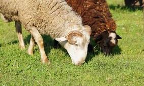 Комплектующие к овцеводству