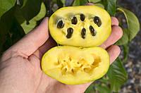 Азимина семена (10шт)косточки, семечки для выращивания саженцев (мексиканский банан)насіння для саджанців