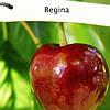 Саженцы черешни Регина