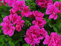 Пеларгония Плющелистная Hot Pink