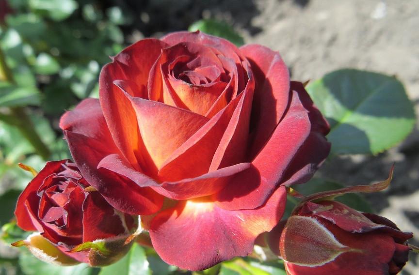 Роза Браун Шугар (Brown Sugar) Спрей