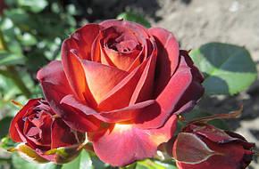 Роза Браун Шугар (Brown Sugar) Спрей, фото 2