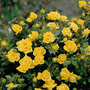 Роза Голден Микадо (Golden Mikado) Спрей, фото 2