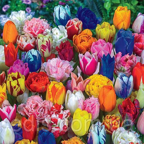Фото: Разнообразные сорта тюльпанов