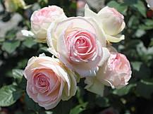 Роза Пьер де Ронсар (Эден Роуз) / (Pierre De Ronsard (Eden Rose), фото 3