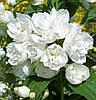 Чубушник махровый (жасмин махровый), 30-60 см, С1л, 3-летние