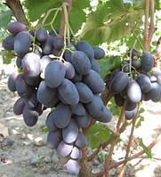 Саженцы столового винограда Велика