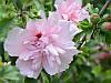 Гібіскус сирійський Pink Chiffon махровий, фото 2
