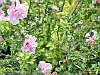 Гібіскус сирійський Pink Chiffon махровий, фото 3