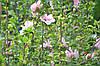 Гібіскус сирійський Pink Chiffon махровий, фото 6