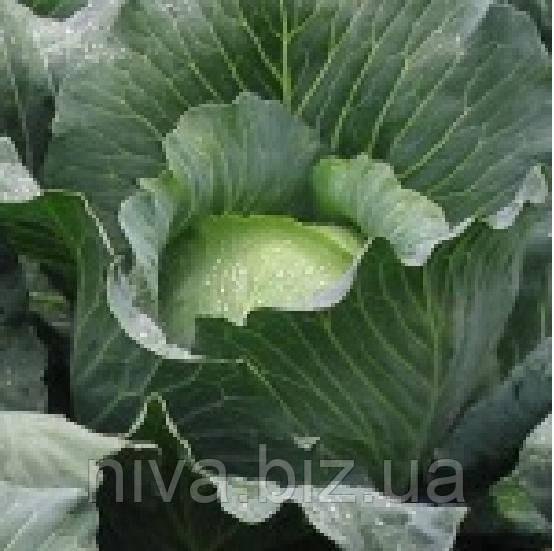 Бронко F1 семена капусты белокачанной средней Bejo 25 семян