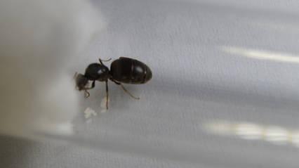 Мурахи Lasius niger