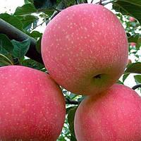 Яблоня Фуджи / Яблуня Фуджі (контейнер С15 л, высота растения 2 летние). - опт