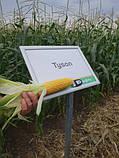 Семена сладкой (сахарной) кукурузы Тусон F1, 100 тыс. семян, фото 5