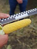 Семена сладкой (сахарной) кукурузы Тусон F1, 100 тыс. семян, фото 7
