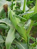 Семена сладкой (сахарной) кукурузы Тусон F1, 100 тыс. семян, фото 6