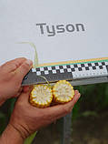 Семена сладкой (сахарной) кукурузы Тусон F1, 100 тыс. семян, фото 3
