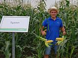 Семена сладкой (сахарной) кукурузы Тусон F1, 100 тыс. семян, фото 2