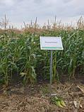Семена сладкой (сахарной) кукурузы Свитстар F1, 100 тыс. семян, фото 2