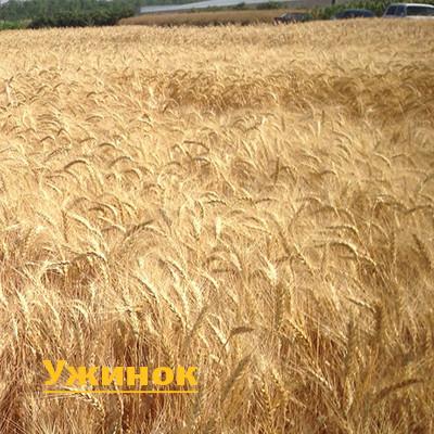 Насіння пшениці озимої Ужинок (еліта)
