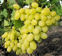 Виктория ( Вива Айка), саженцы винограда раннего срока созревания