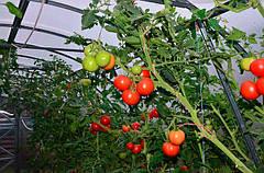 Агроволокно помидор