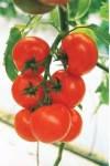 Семена помидора Кристал F1 10 шт.  индетерминантный