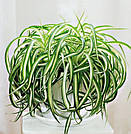 Хлорофитум кудрявый — растение 15-20 см