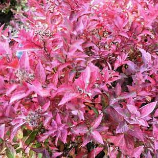 Саженцы Спиреи японская Файерлайт (Spiraea japonica Firelight)
